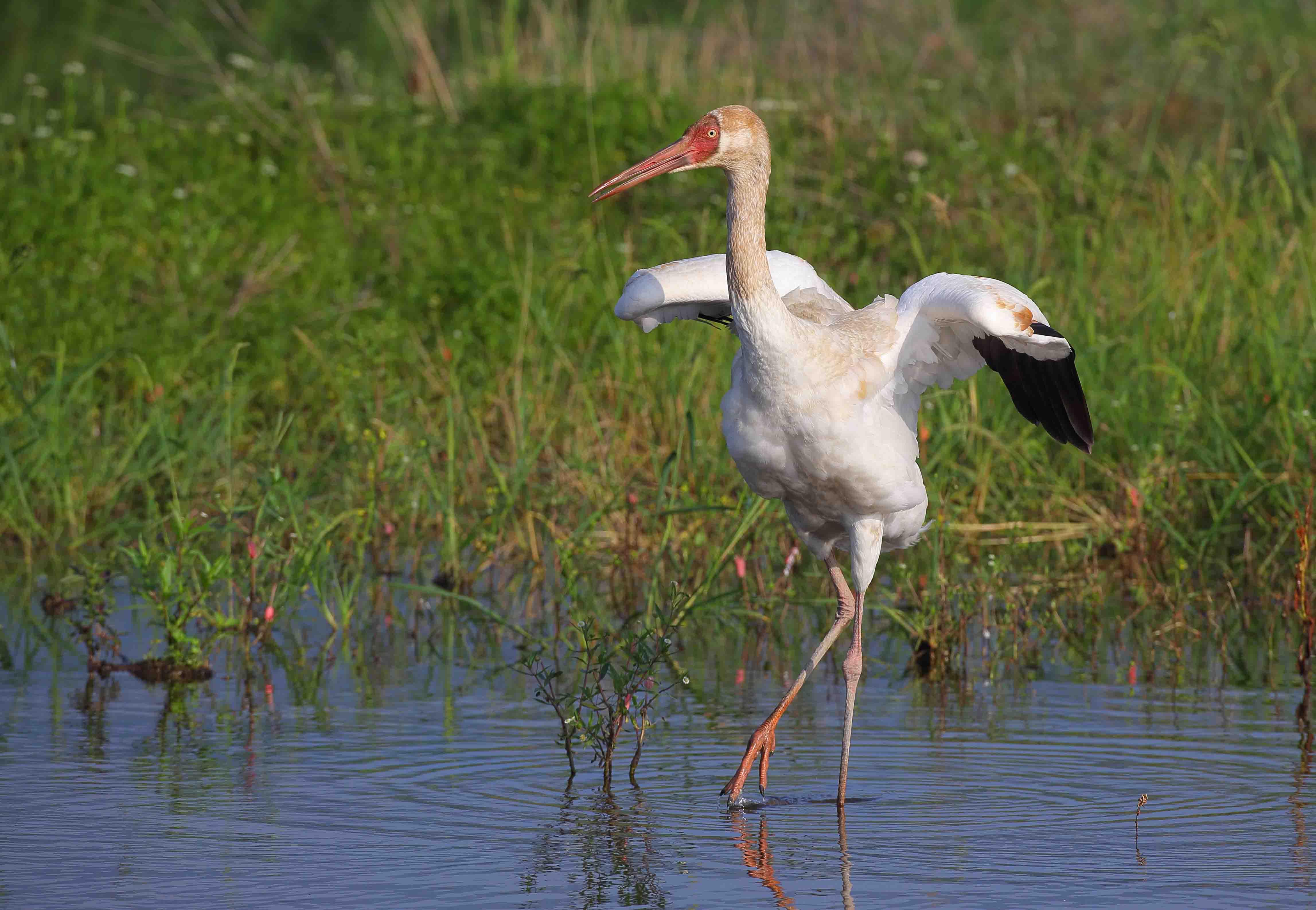 骆驼论坛 - 风景,生态,飞羽摄影作品 - 白鹤幼鸟